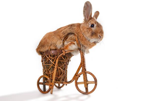 Marrón conejo riding bike - foto de stock