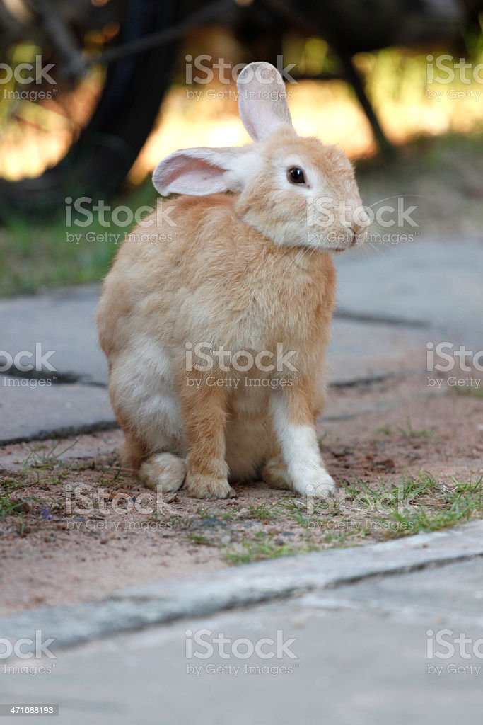 Brown Rabbit Sits royalty-free stock photo