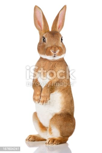 istock Brown rabbit standing up 157604241