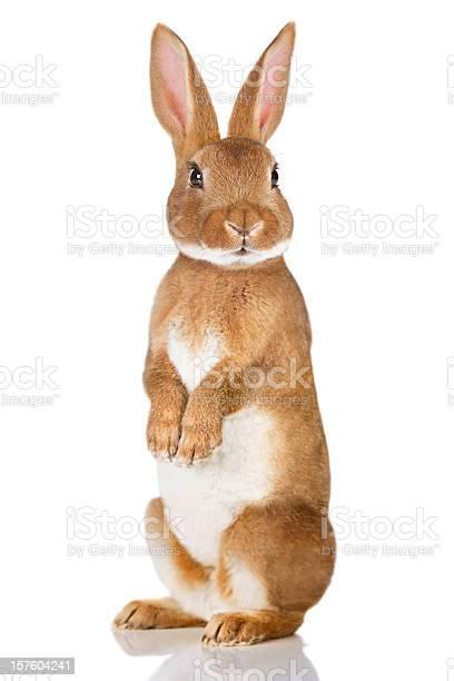 Brown rabbit standing up picture id157604241?b=1&k=6&m=157604241&s=612x612&h=oqzp ow3q7subkzbfirezzmummtvo mszxfmwm9tigy=