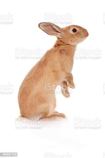 Brown rabbit standing up picture id469887329?b=1&k=6&m=469887329&s=612x612&h=k cpwpl3zcdpgghtgm3w6mezfxw45jc1fi5sikqoij8=