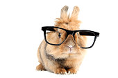Brown rabbit with black glasses isolated on white background