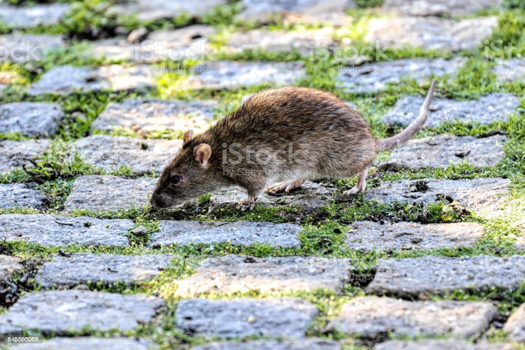Brown rat beside a village pond seeking food stock photo