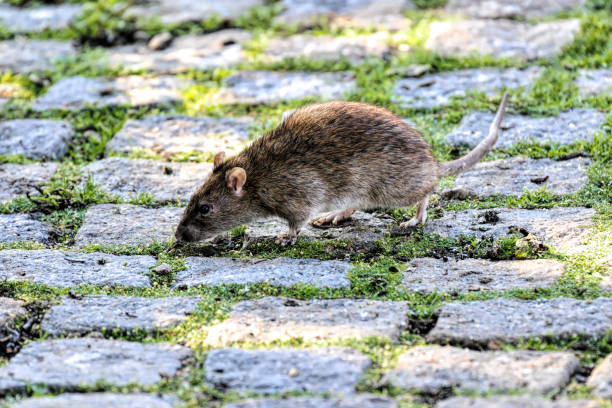 brown rat beside a village pond seeking food - whiteway rat stock photos and pictures