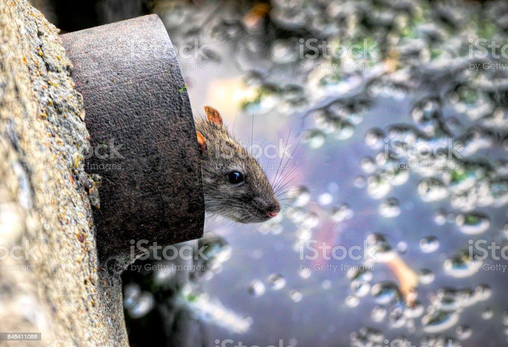 Rat brun dans une gouttière surplombant l'étang du village photo libre de droits
