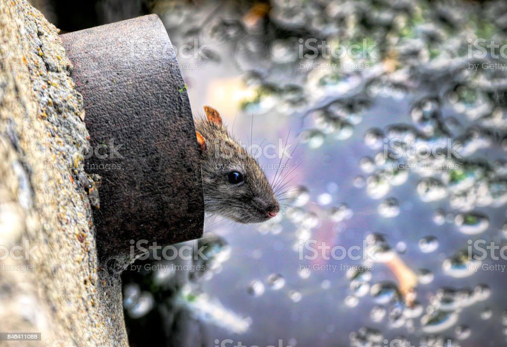 Brown rat in a drainpipe overlooking village pond stock photo