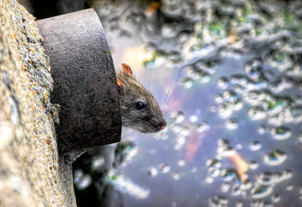 brown rat in a drainpipe overlooking village pond - whiteway rat stock photos and pictures
