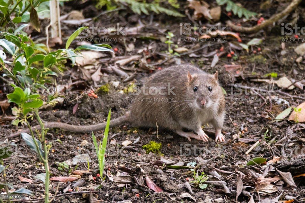 Brown rat (Rattus norvegicus) looking at camera stock photo