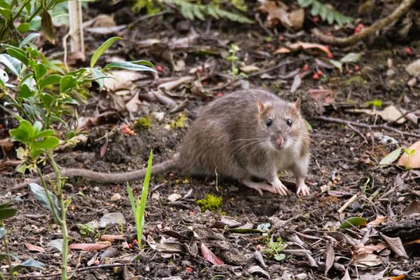 Rat brun (Rattus norvegicus) regardant la caméra - Photo