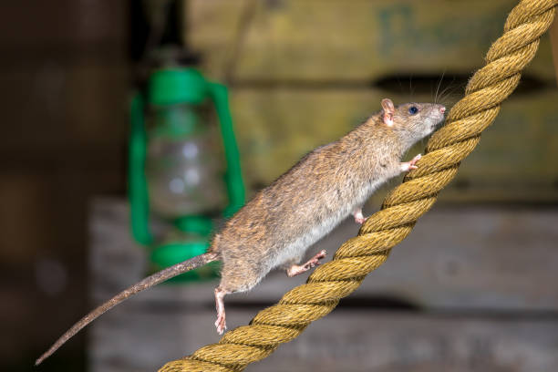 Brown rat on anchor rope stock photo