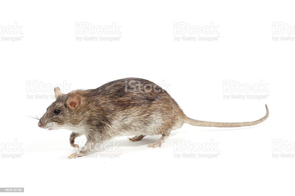 Brown rat stock photo