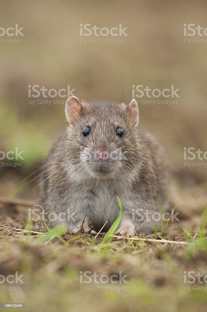 Brown rat (Rattus norvegicus) stock photo