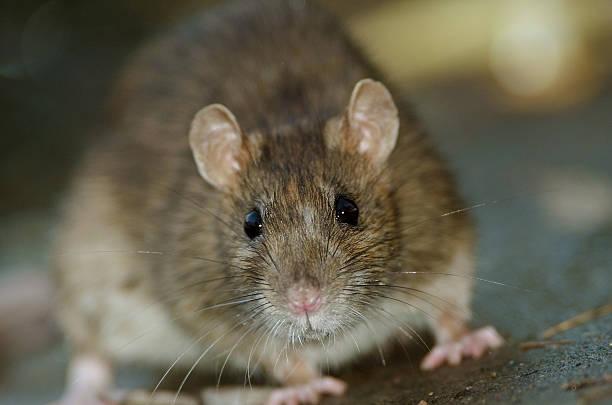 Brown Rat - Photo