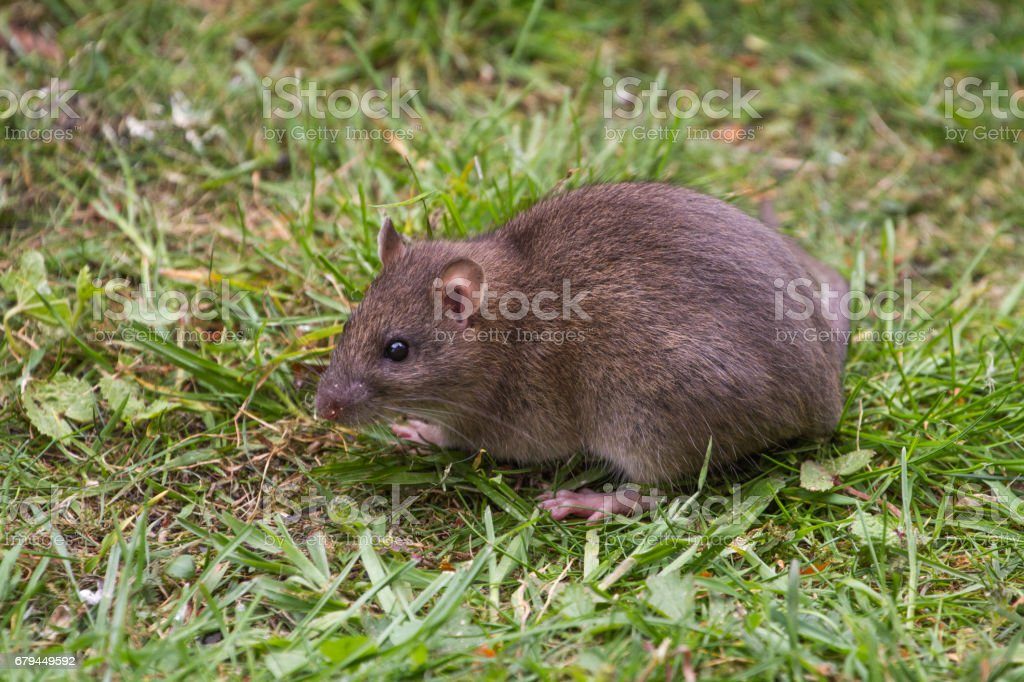 Brown Rat Portrait on Grass stock photo