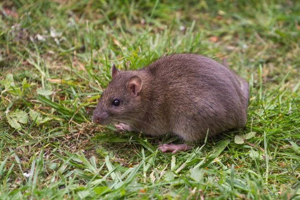 Brown Rat Portrait on Grass stock photo