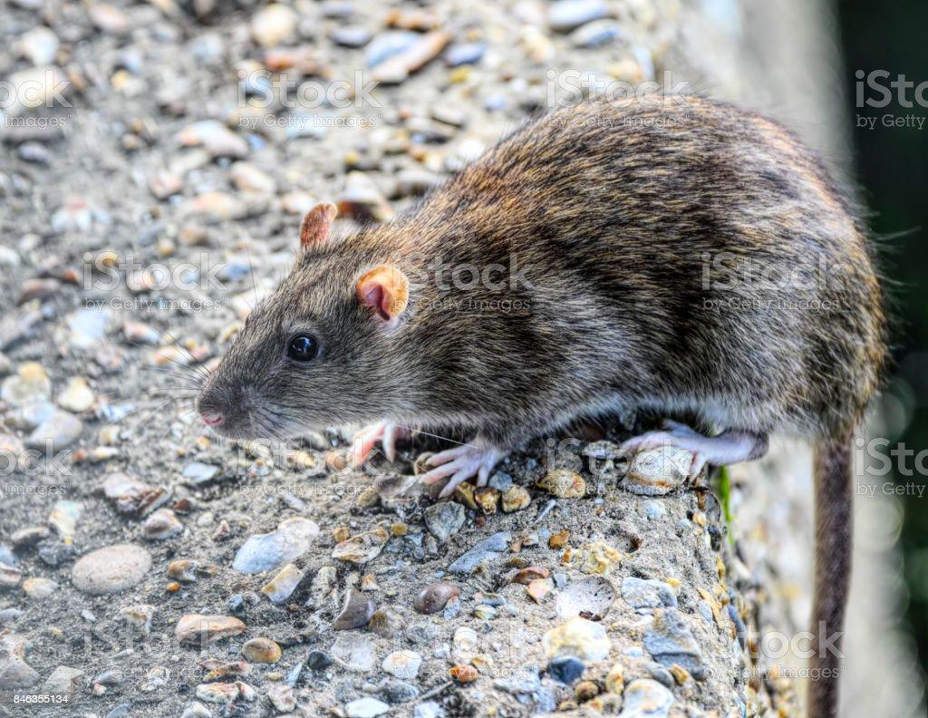 Brown rat Rattus norvegicus tail overhanging concrete wall stock photo