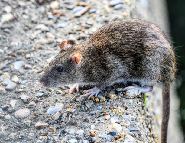 brown rat rattus norvegicus tail overhanging concrete wall - whiteway rat stock photos and pictures