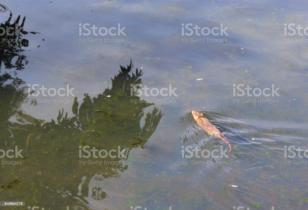 Brown rat swimming in village pond stock photo