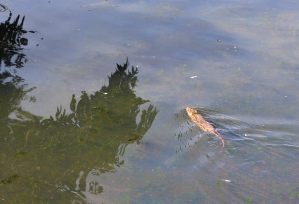brown rat swimming in village pond - whiteway rat stock photos and pictures