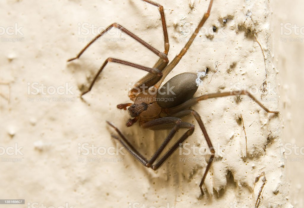 Brown Recluse stock photo