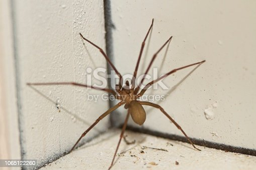 Small brown recluse spider climbing a wall.