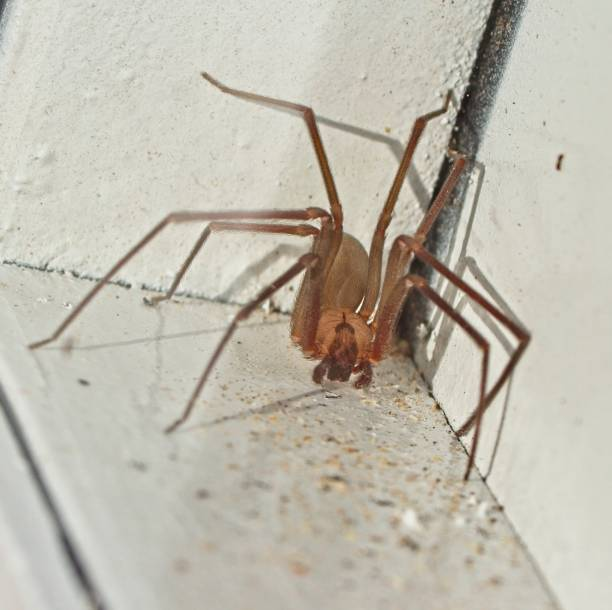 Brown Recluse Spider stock photo