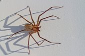 Closeup of a large Brown recluse spider casting a long shadow.