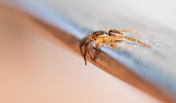 brown recluse spider. - ragno violino foto e immagini stock