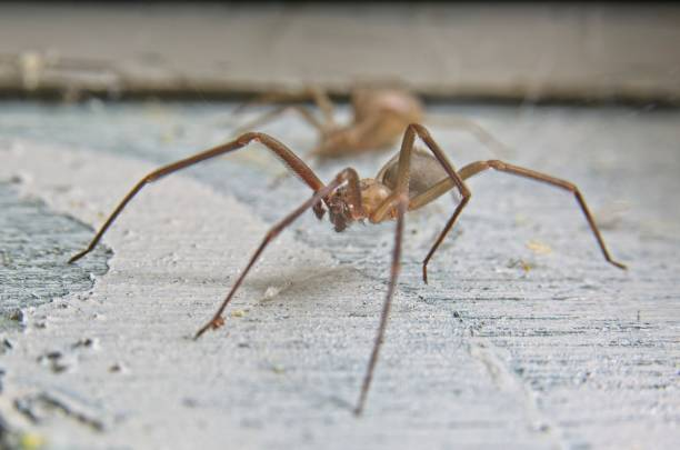 brown recluse spider - ragno violino foto e immagini stock