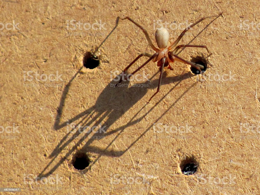 brown recluse spider bites - 1000×750