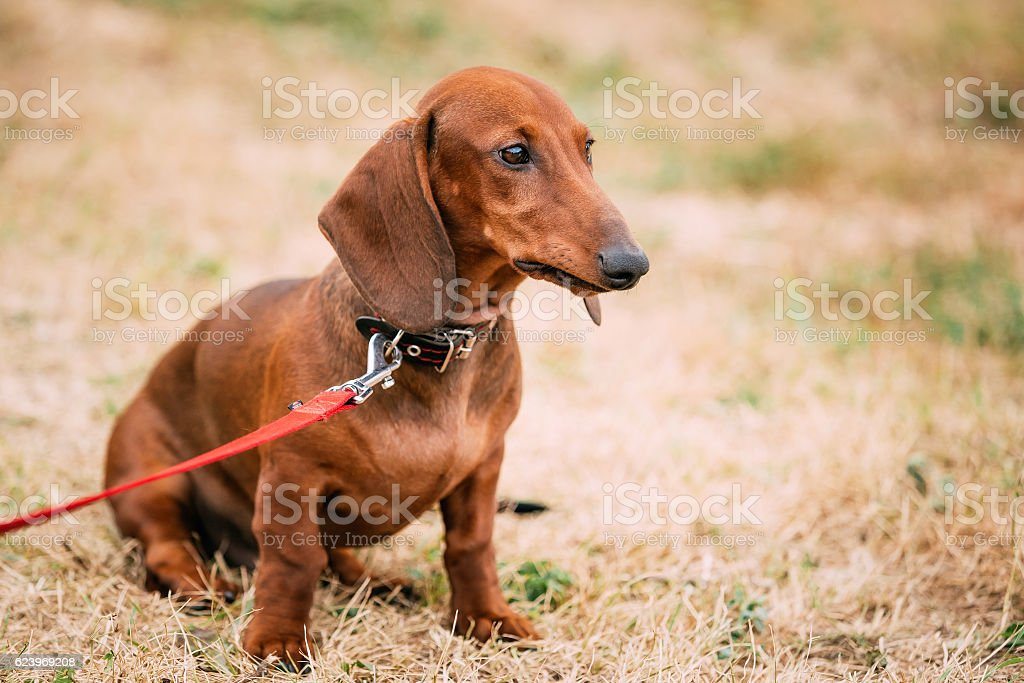 Brown Red Dachshund Dog Outdoor stock photo