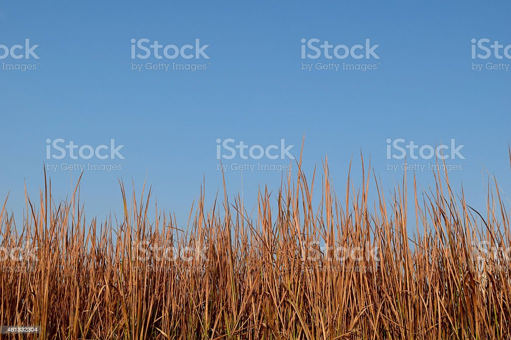Brown red Grass dry and blue sky stock photo