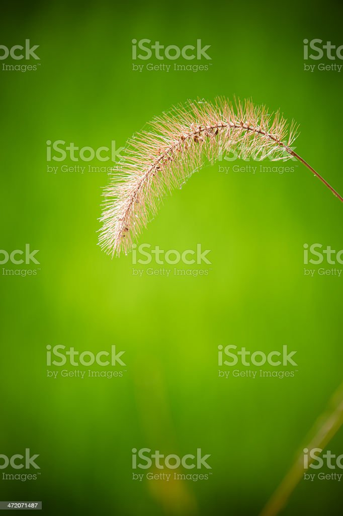 Brown Reed stock photo