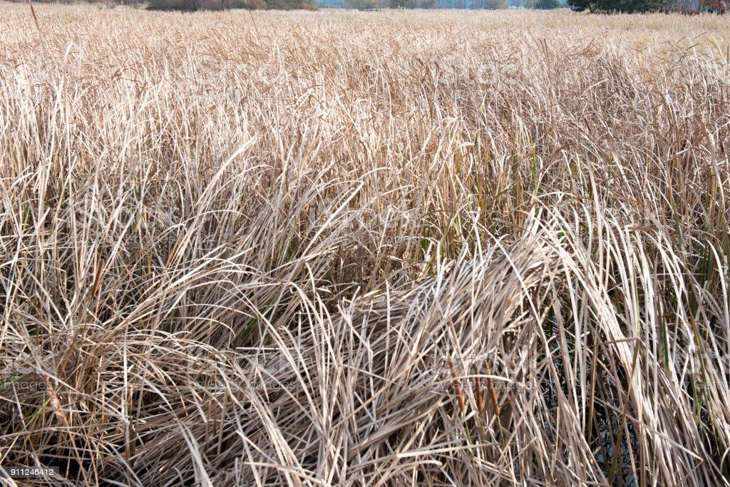 Brown reeds stock photo