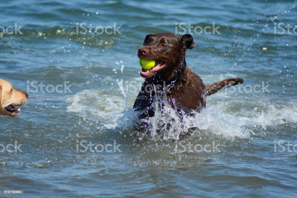Okyanus top oynamaktan kahverengi Retreiver köpekler royalty-free stock photo