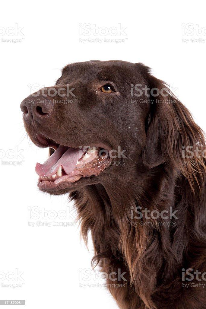 brown retriever dog royalty-free stock photo