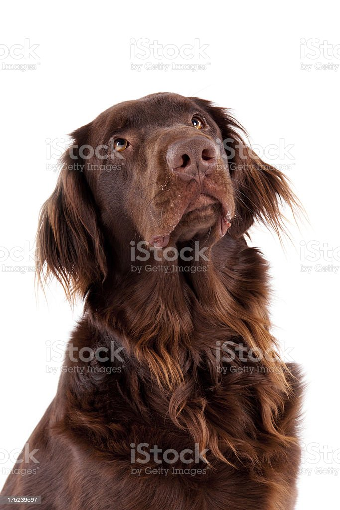 brown retriever dog stock photo