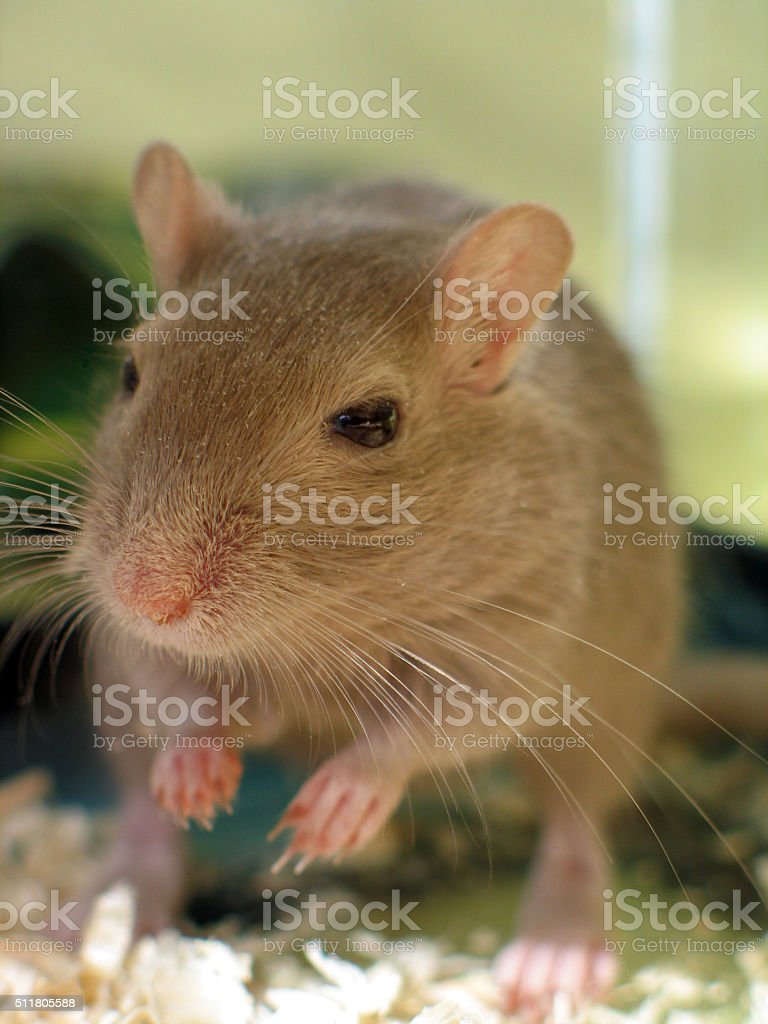 Brown rodent stock photo