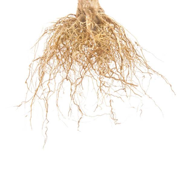 Braune Wurzeln des Baumes isoliert auf weißem Hintergrund. – Foto