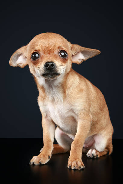 Royalty Free Sad Chihuahua Pictures, Images and Stock ...   408 x 612 jpeg 27kB