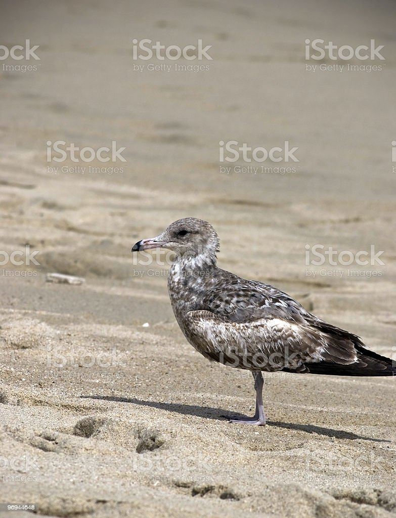 brown seagull on beach royalty-free stock photo
