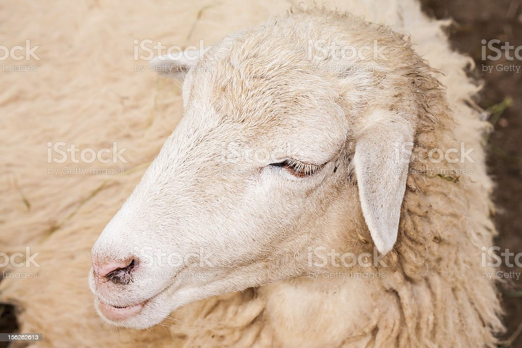 Brown sheep face royalty-free stock photo