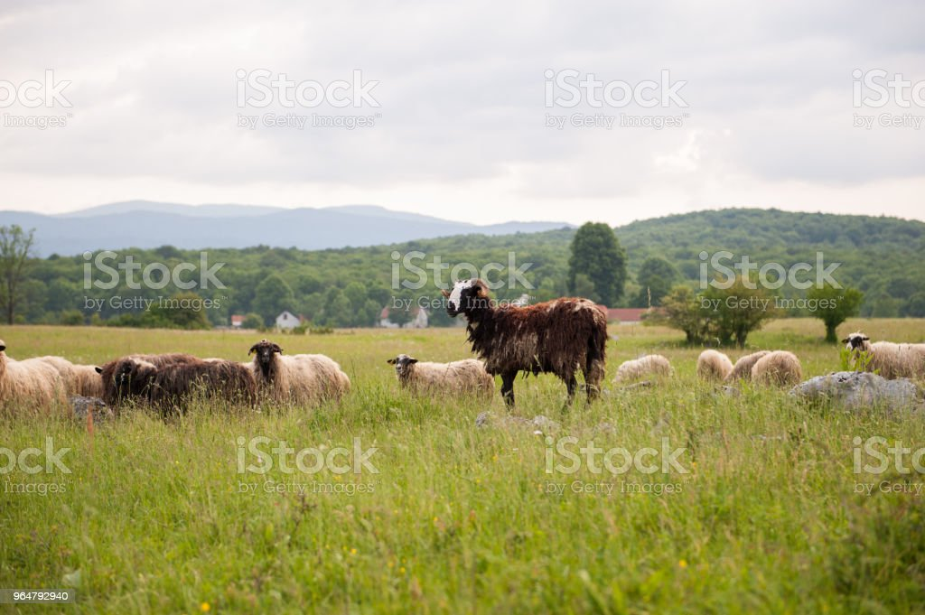 Brown Sheep in a field with tall grass. royalty-free stock photo