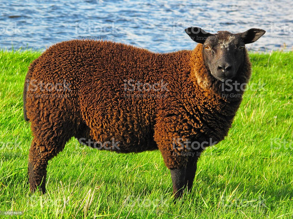 Brown sheep stock photo