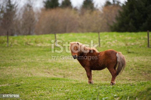 Lone Shetland Pony in a field in Aberdeenshire Scotland.