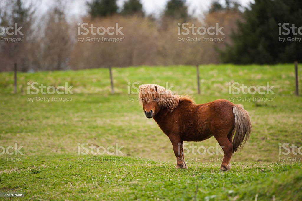 Brown Shetland pony in a grassy field stock photo