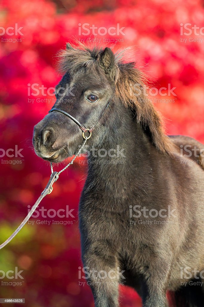 Brown Shetland pony on red background stock photo