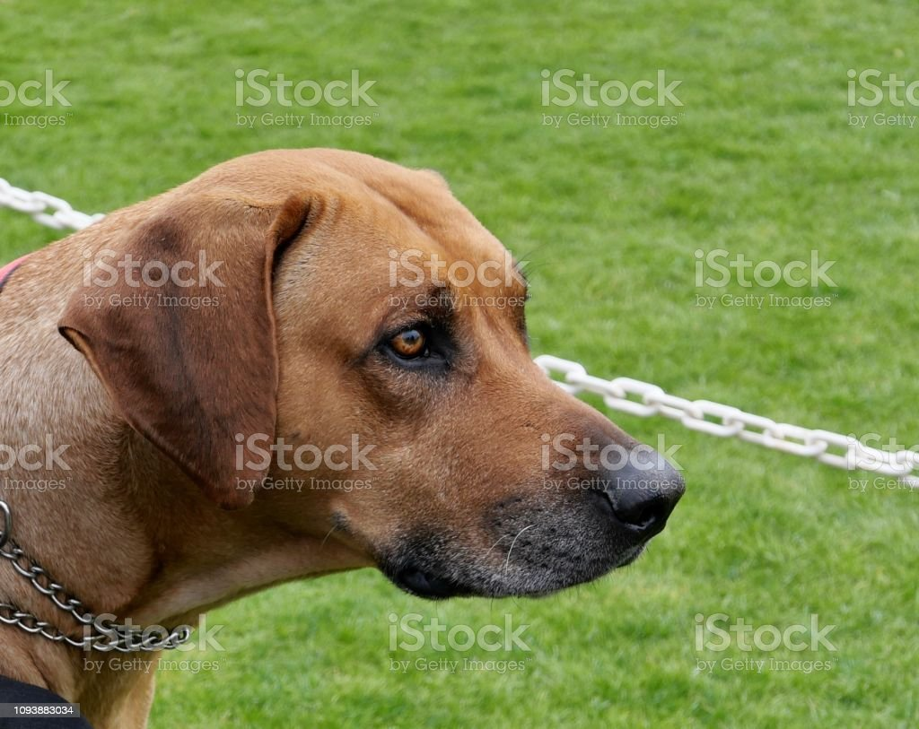 Brown Short Haired Dogs Stock Photo Download Image Now Istock