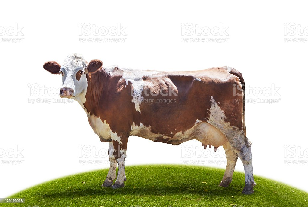 Brown Simmental cow on the grass stock photo