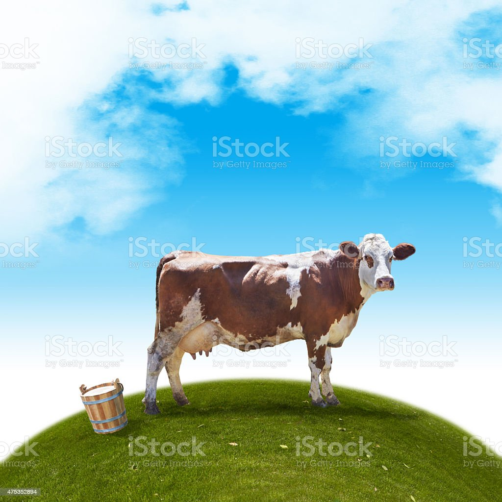 Brown Simmental cow with a wooden milk vessel stock photo